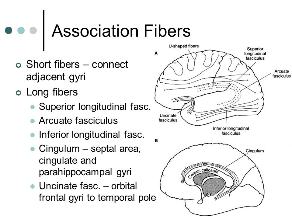 Association Fibers Short fibers – connect adjacent gyri Long fibers