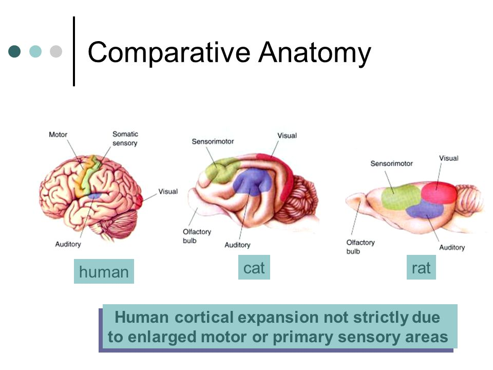 Human cortical expansion not strictly due