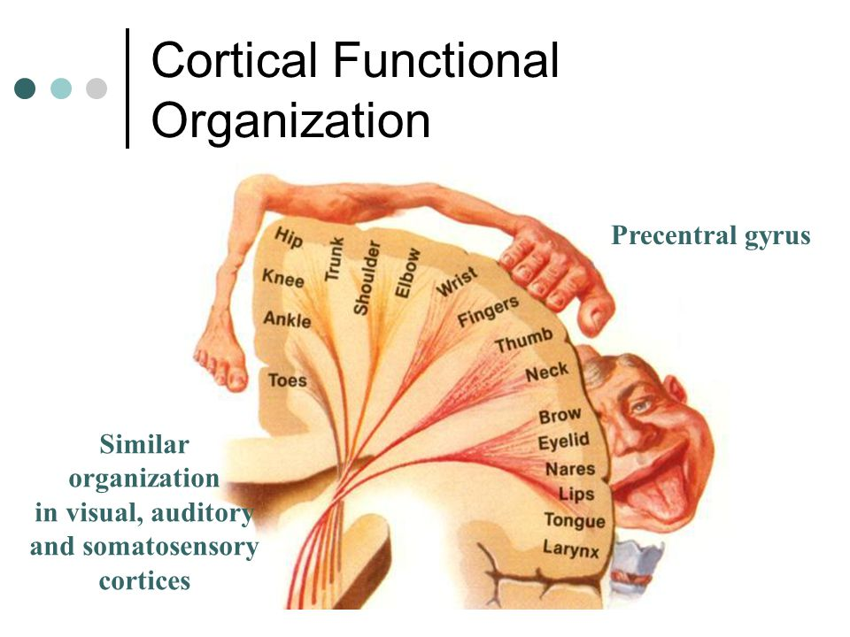Cortical Functional Organization