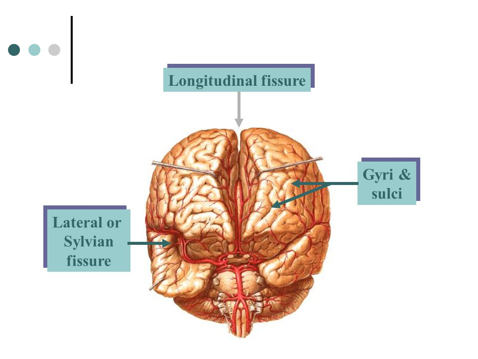 Longitudinal fissure Gyri & sulci Lateral or Sylvian fissure