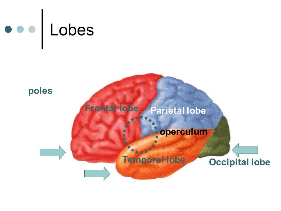 Lobes poles Frontal lobe Parietal lobe operculum Temporal lobe