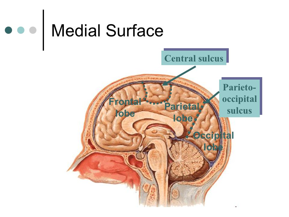Medial Surface Central sulcus Parieto- occipital sulcus Frontal lobe