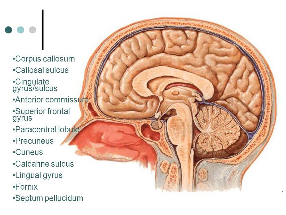 Corpus callosum Callosal sulcus. Cingulate gyrus/sulcus. Anterior commissure. Superior frontal gyrus.