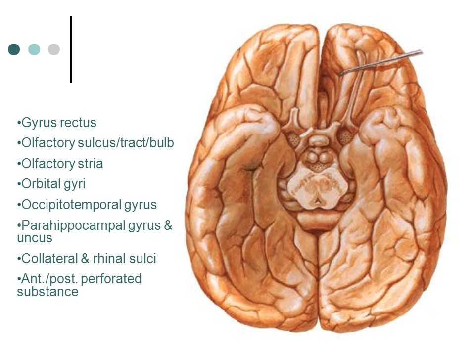 Gyrus rectus Olfactory sulcus/tract/bulb. Olfactory stria. Orbital gyri. Occipitotemporal gyrus.