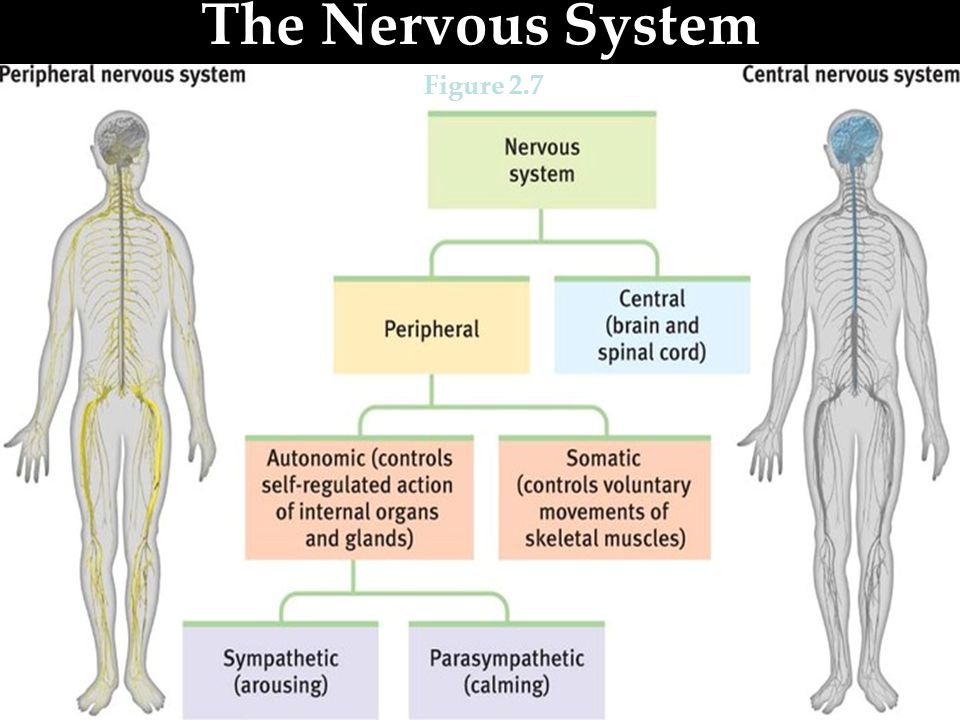 The Nervous System Figure 2.7