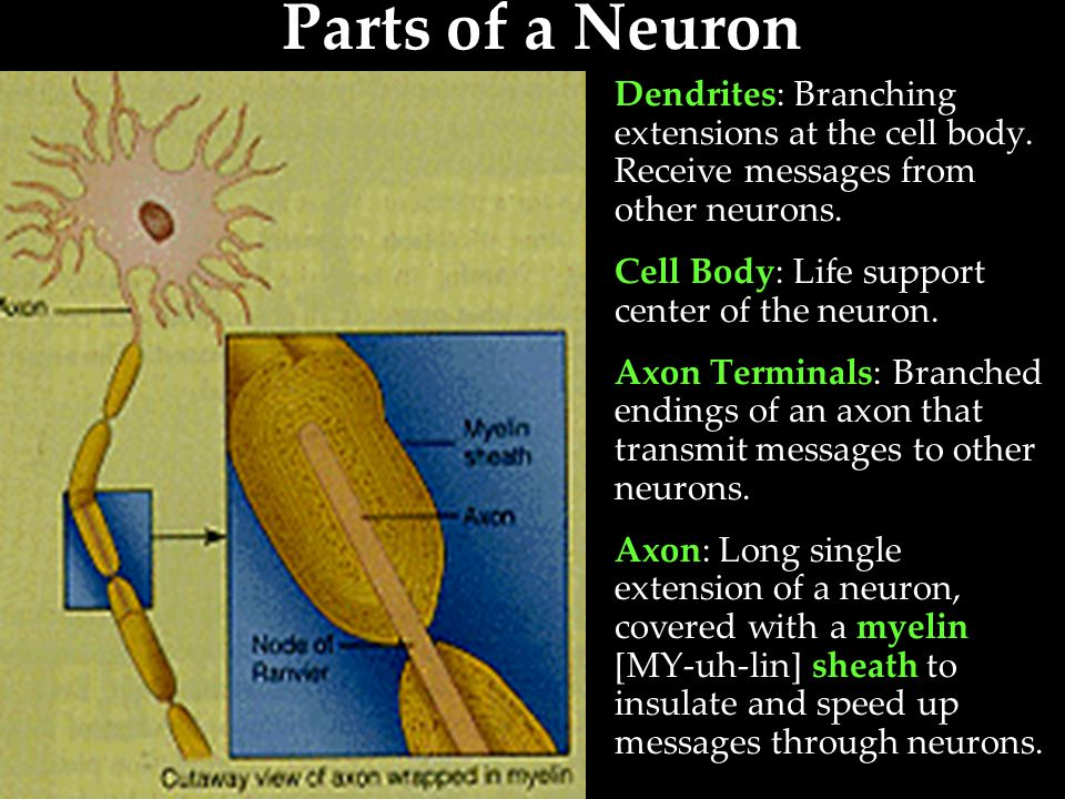 Parts of a Neuron Dendrites: Branching extensions at the cell body. Receive messages from other neurons.