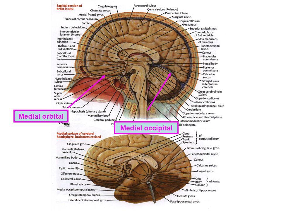 Medial orbital Medial occipital