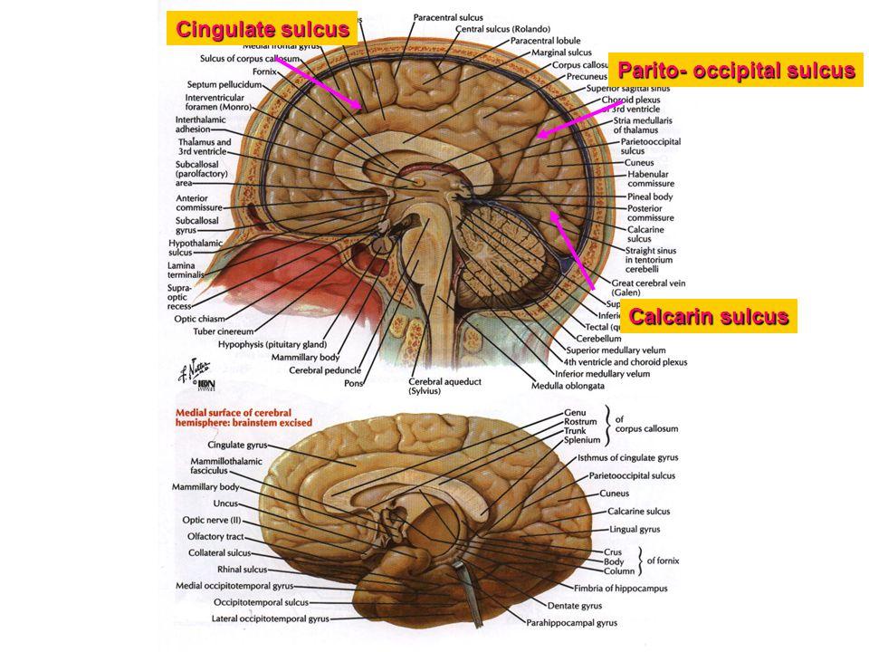 Cingulate sulcus Parito- occipital sulcus Calcarin sulcus