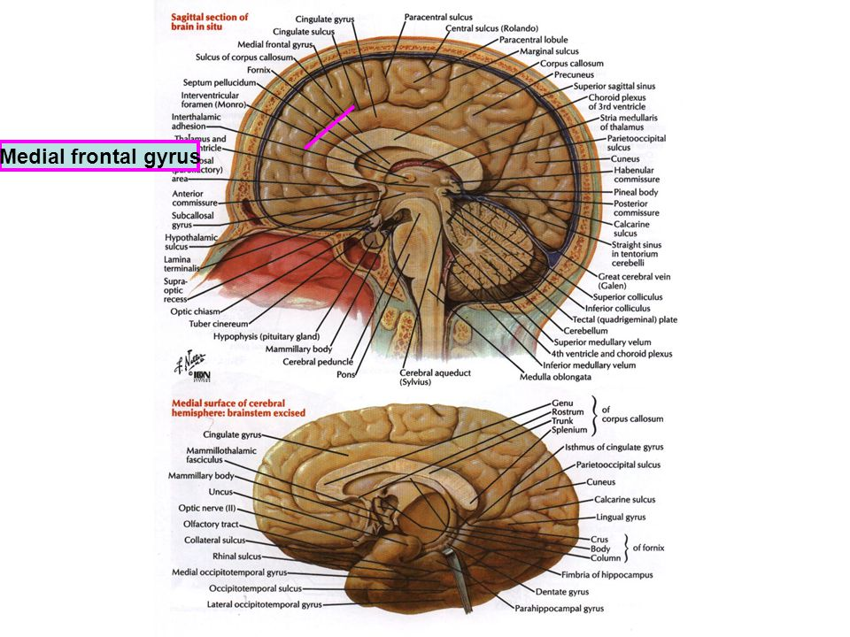 Medial frontal gyrus