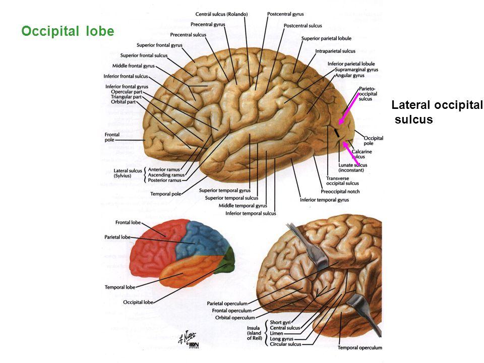 Occipital lobe Lateral occipital sulcus