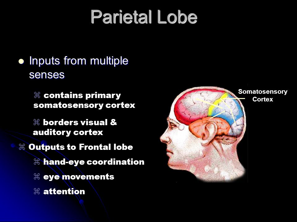 Parietal Lobe Inputs from multiple senses