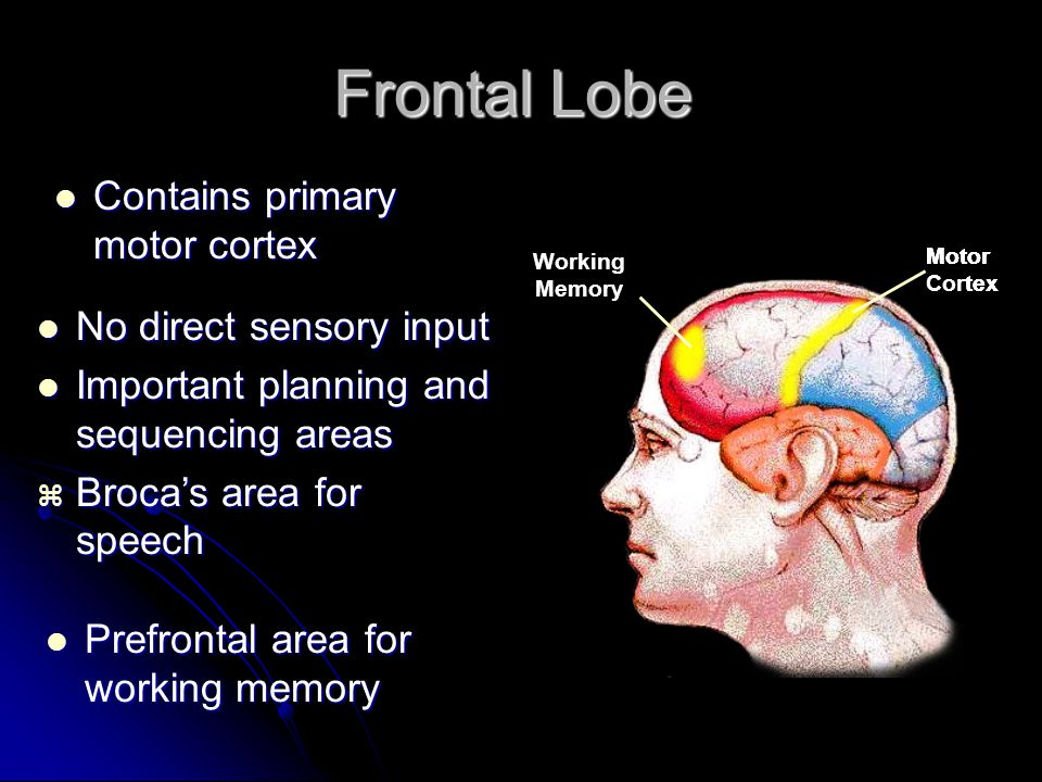 Frontal Lobe Contains primary motor cortex No direct sensory input