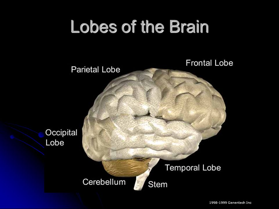 Lobes of the Brain key words: cerebral cortex; lobes; frontal; motor functions.