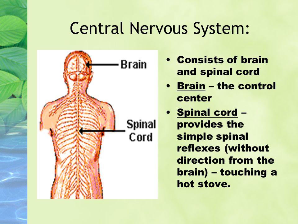 Central Nervous System: