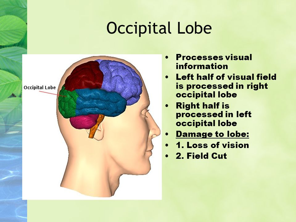 Occipital Lobe Processes visual information