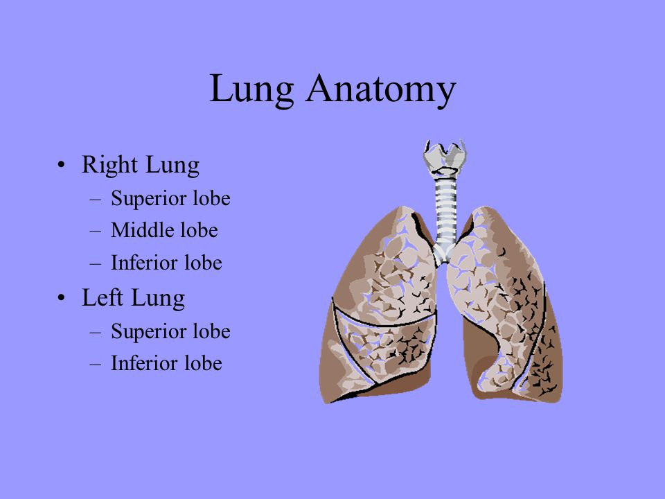 Lung Anatomy Right Lung Left Lung Superior lobe Middle lobe