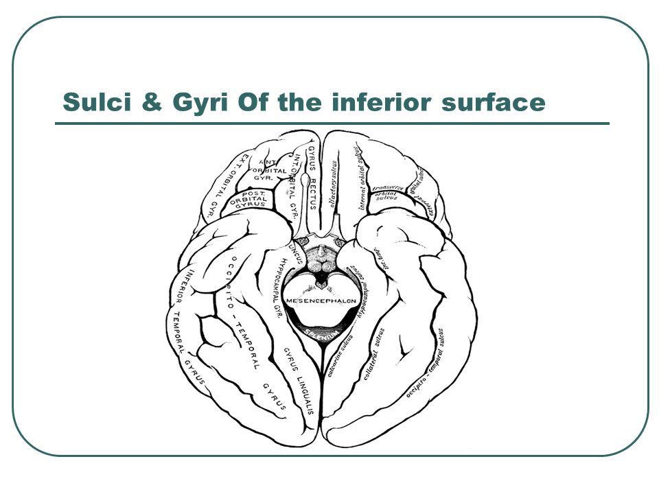 Sulci & Gyri Of the inferior surface