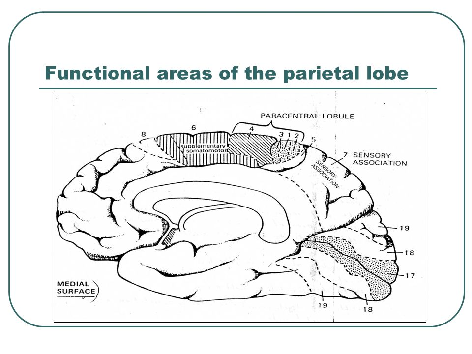 Functional areas of the parietal lobe