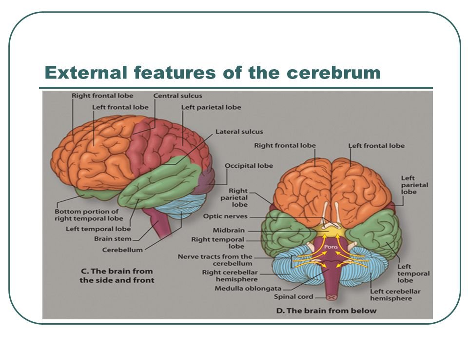 External features of the cerebrum