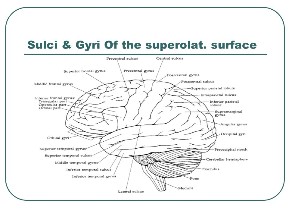 Sulci & Gyri Of the superolat. surface