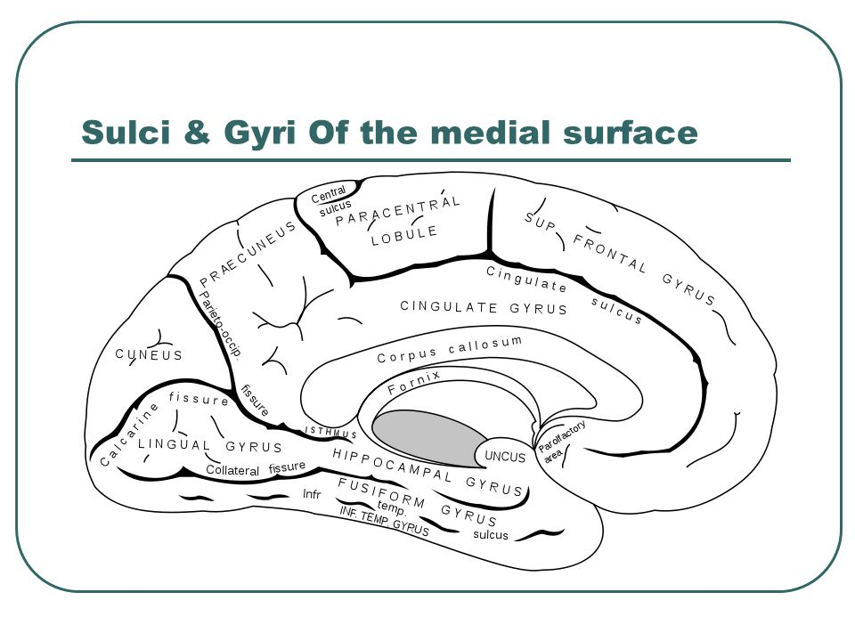 Sulci & Gyri Of the medial surface