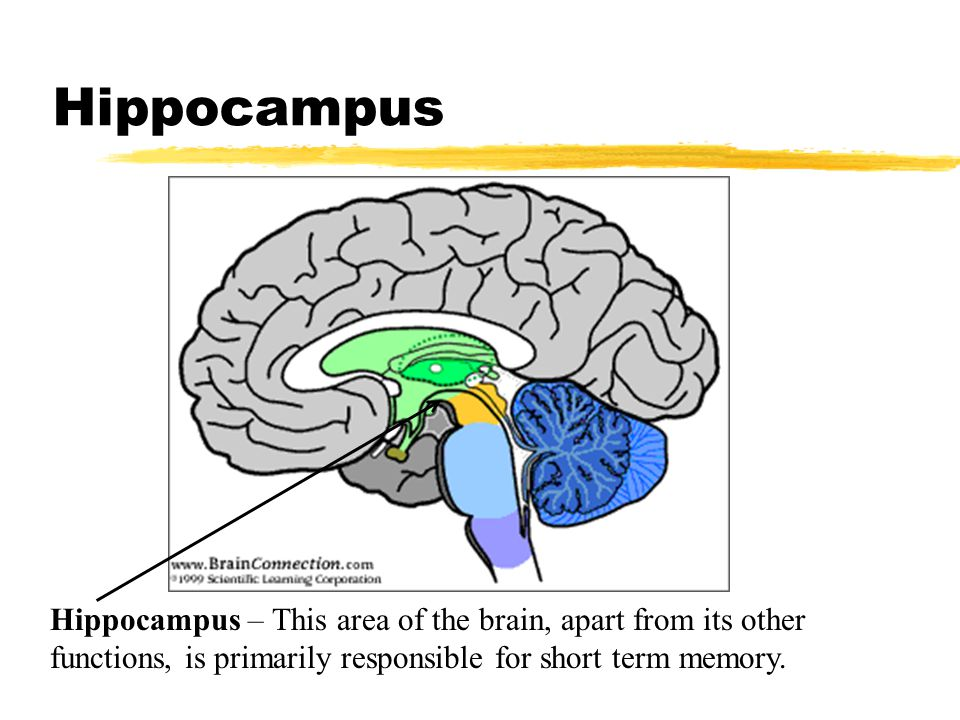 Hippocampus Hippocampus – This area of the brain, apart from its other functions, is primarily responsible for short term memory.