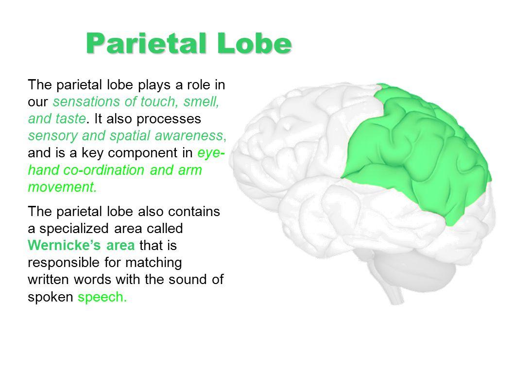 Parietal Lobe