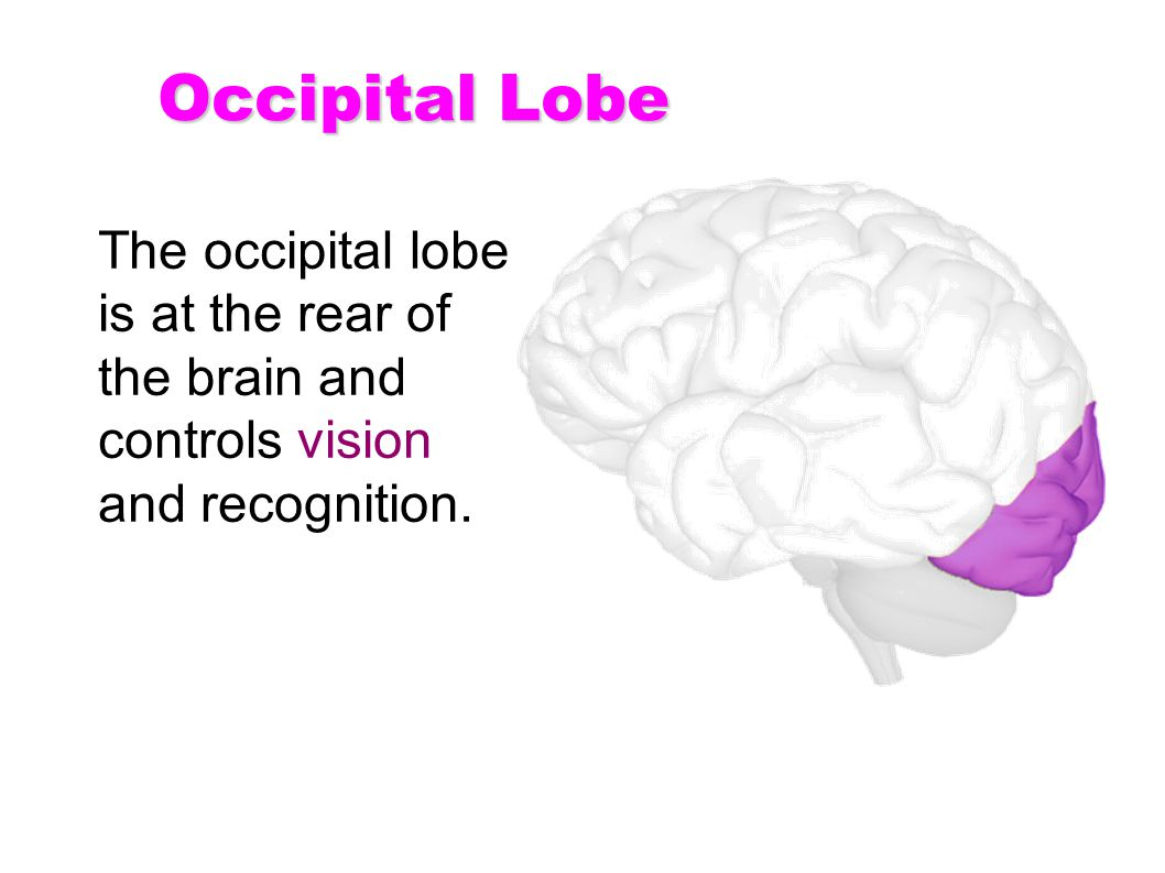 Occipital Lobe The occipital lobe is at the rear of the brain and controls vision and recognition.