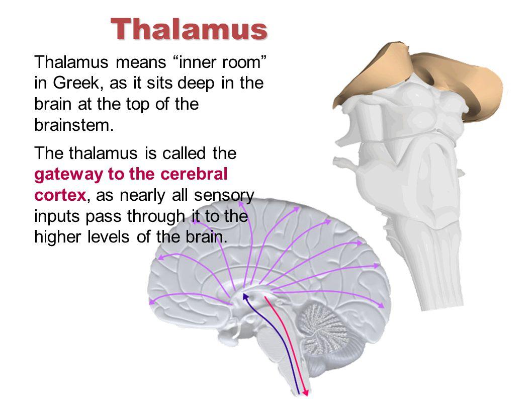 Thalamus Thalamus means inner room in Greek, as it sits deep in the brain at the top of the brainstem.