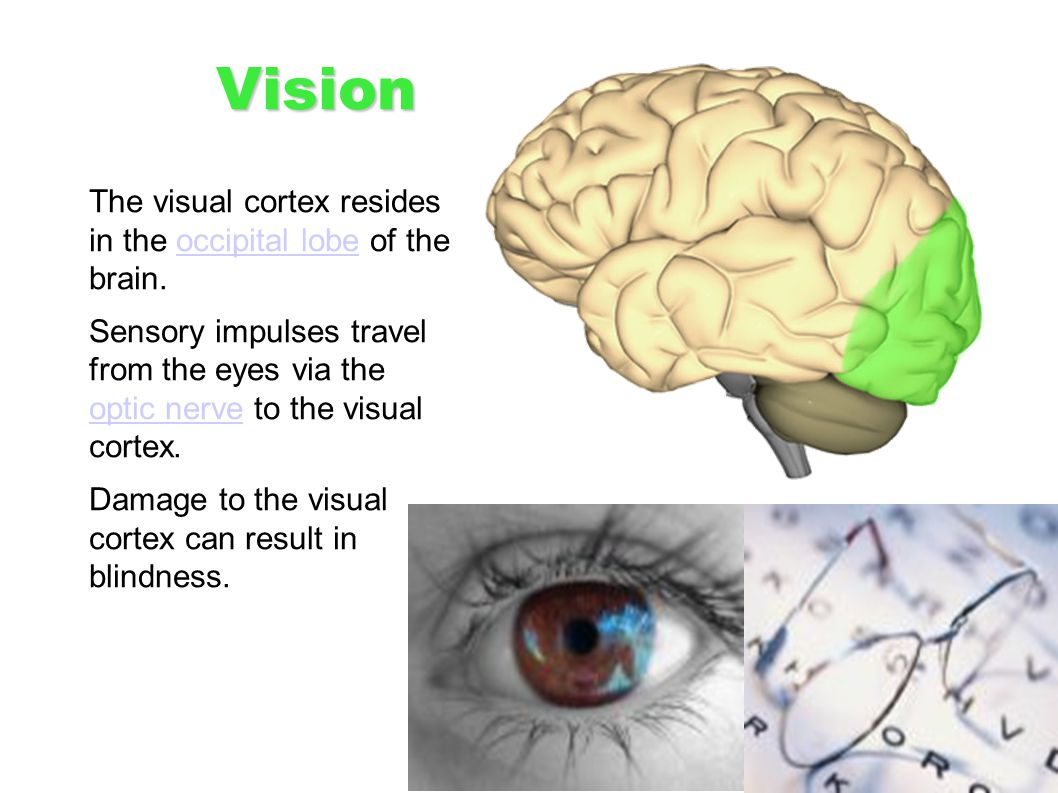 Vision The visual cortex resides in the occipital lobe of the brain.