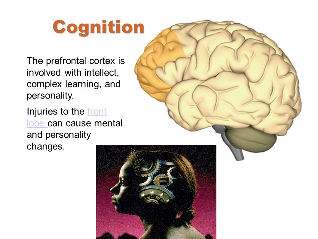 Cognition The prefrontal cortex is involved with intellect, complex learning, and personality.