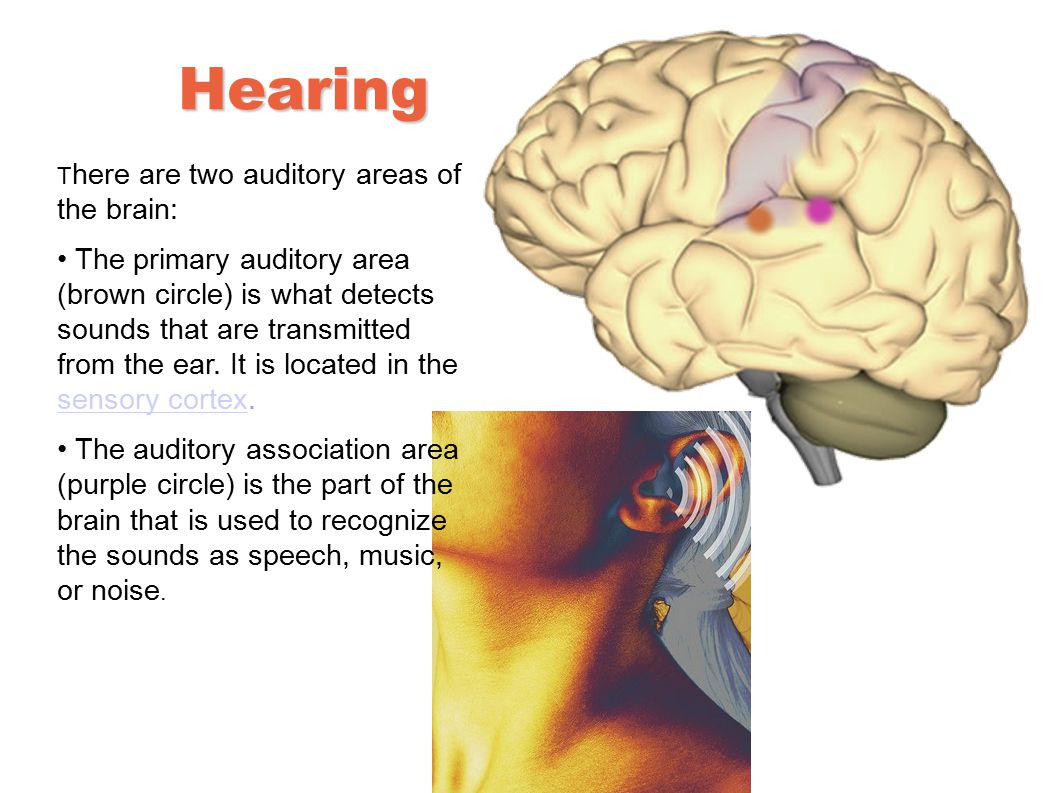 Hearing There are two auditory areas of the brain: