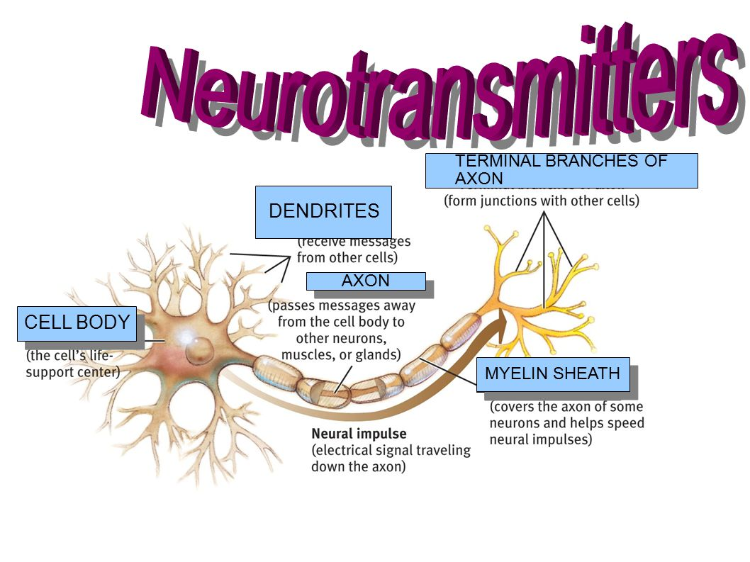 Neurotransmitters DENDRITES CELL BODY TERMINAL BRANCHES OF AXON AXON