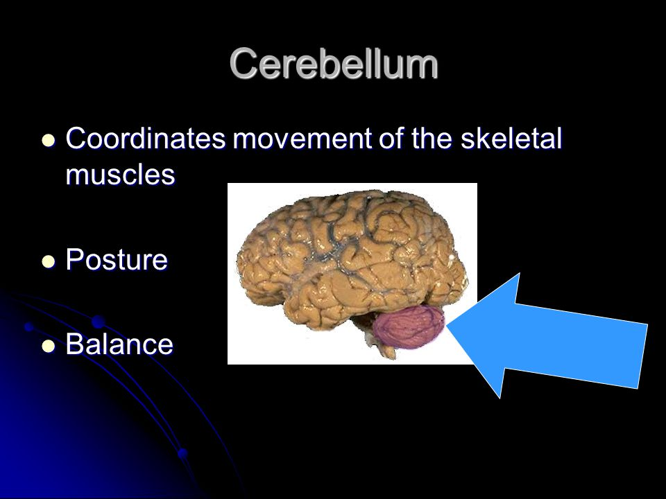 Cerebellum Coordinates movement of the skeletal muscles Posture