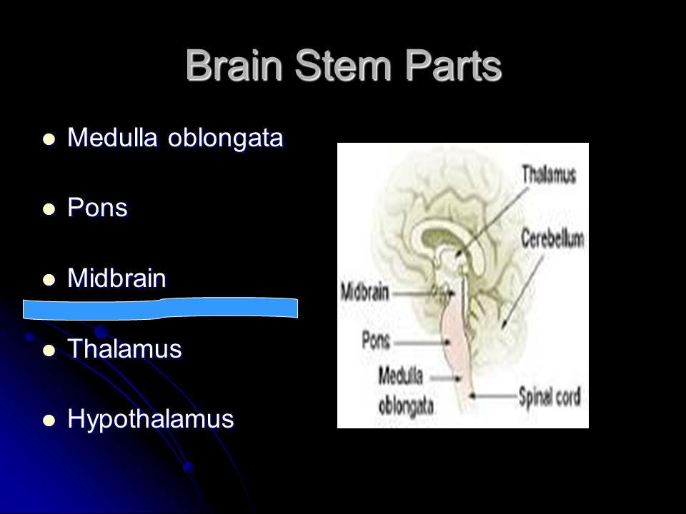 Brain Stem Parts Medulla oblongata Pons Midbrain Thalamus Hypothalamus