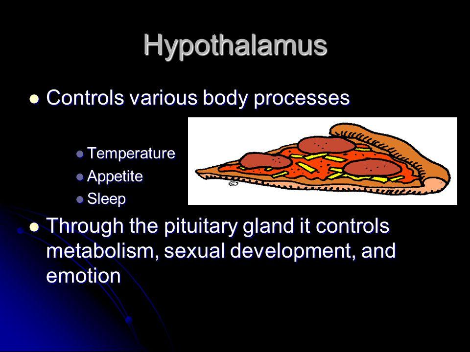 Hypothalamus Controls various body processes