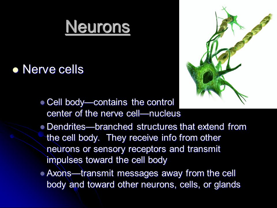 Neurons Nerve cells. Cell body—contains the control center of the nerve cell—nucleus.
