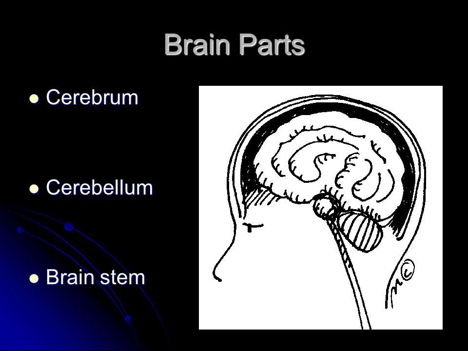 Brain Parts Cerebrum Cerebellum Brain stem