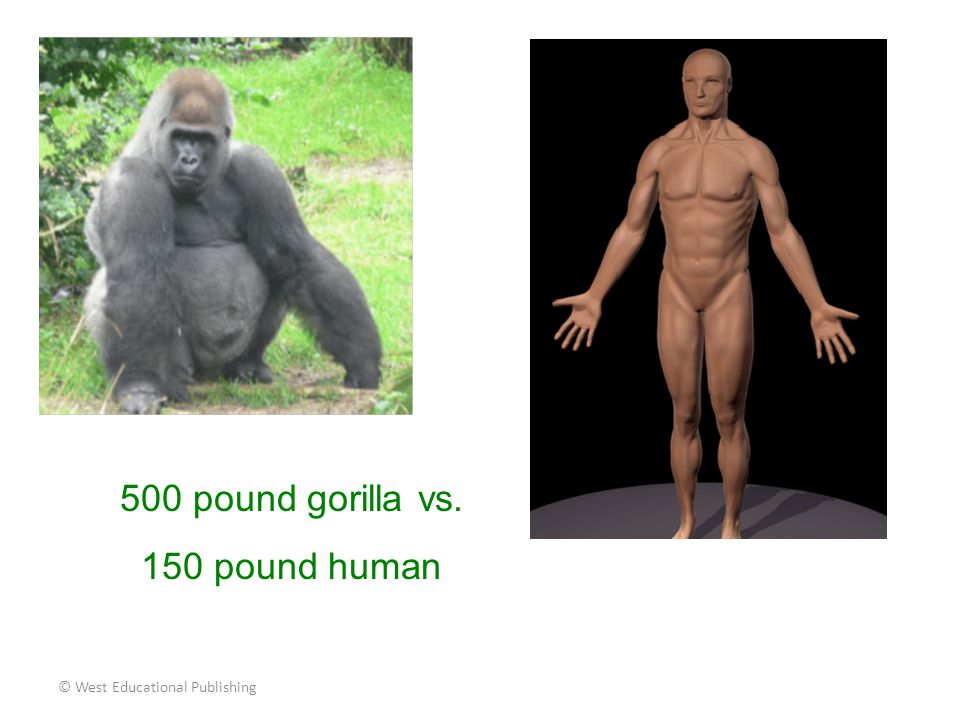 500 pound gorilla vs. 150 pound human © West Educational Publishing