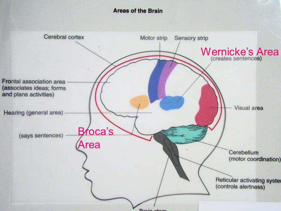 Wernicke's Area Broca's Area © West Educational Publishing
