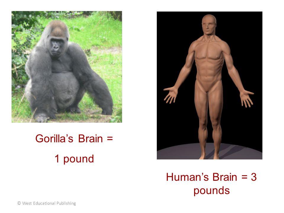 Gorilla's Brain = 1 pound Human's Brain = 3 pounds