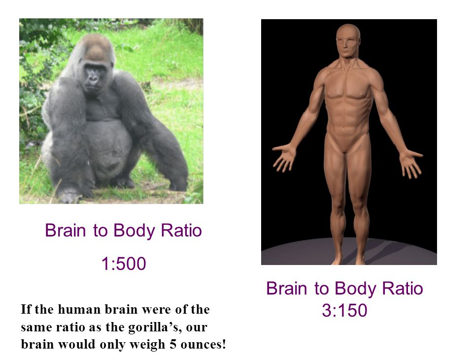 Brain to Body Ratio 1:500 Brain to Body Ratio 3:150