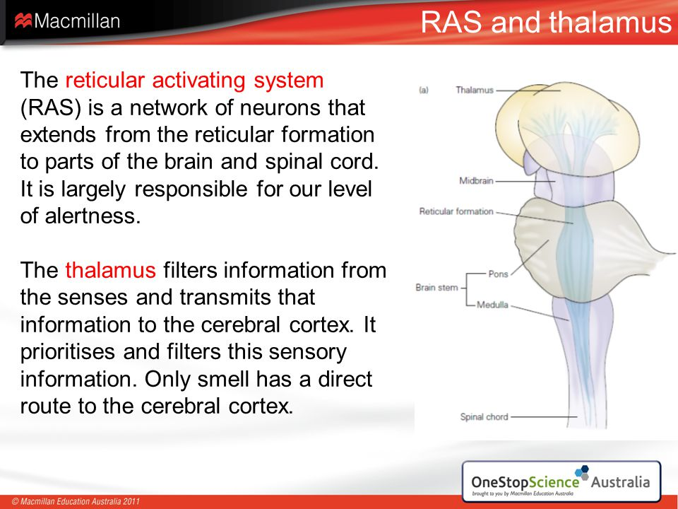 RAS and thalamus