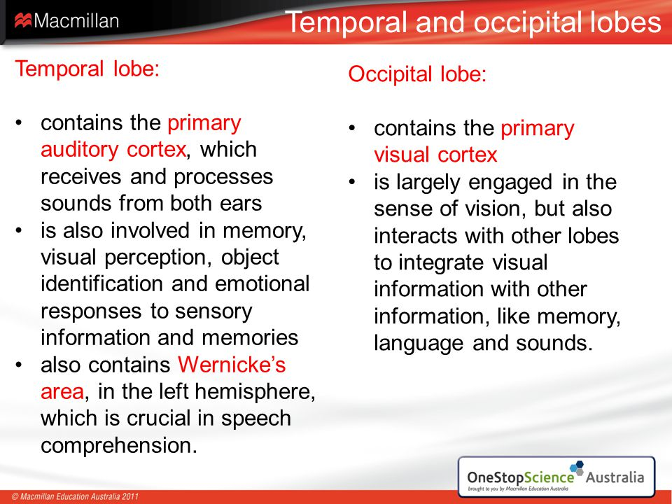 Temporal and occipital lobes
