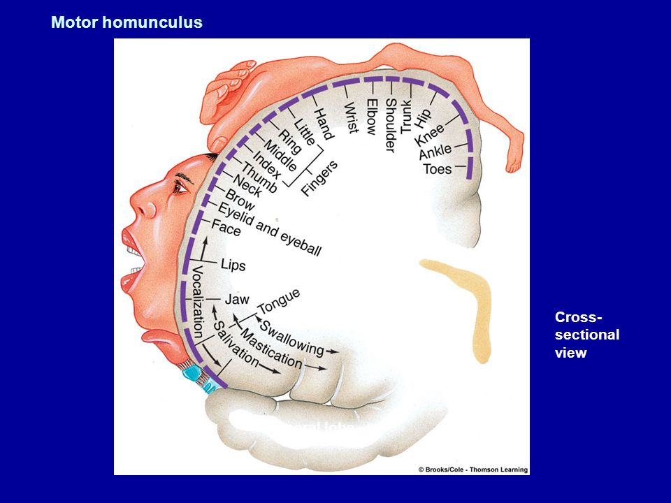 Parietal Lobe - somatosensory cortex