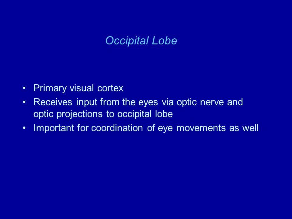 Frontal lobe - motor cortex