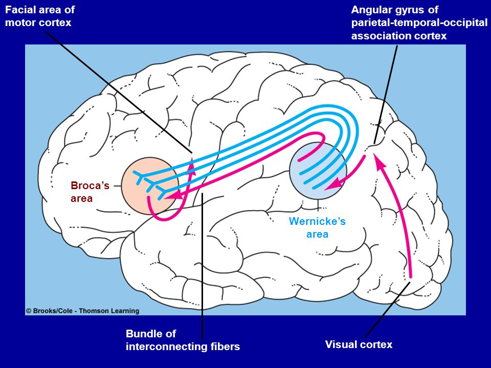 Temporal lobe Contains auditory centres that receive sensory fibres from the cochlea of each ear.