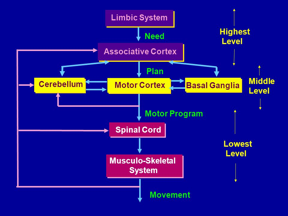 The limbic system Refers to several forebrain structures that function together. Cingulate gyrus.