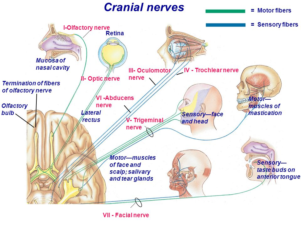 Medulla Characteristic structural feature -->