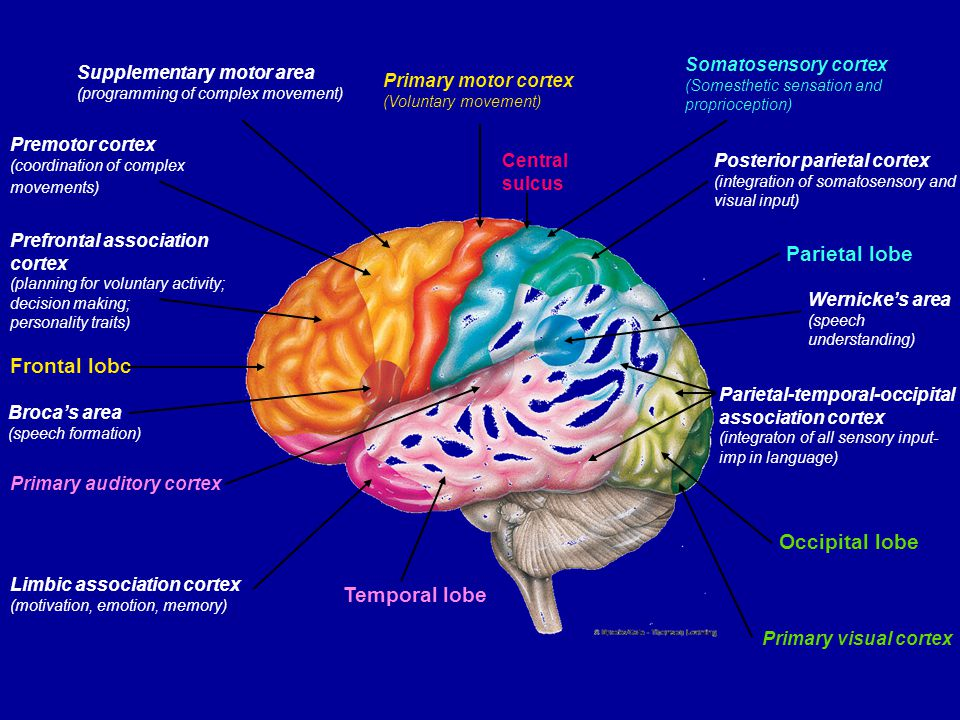 Major Functions Brain component. 1. Sensory perception. 2. Voluntary control of movement. 3. Language.
